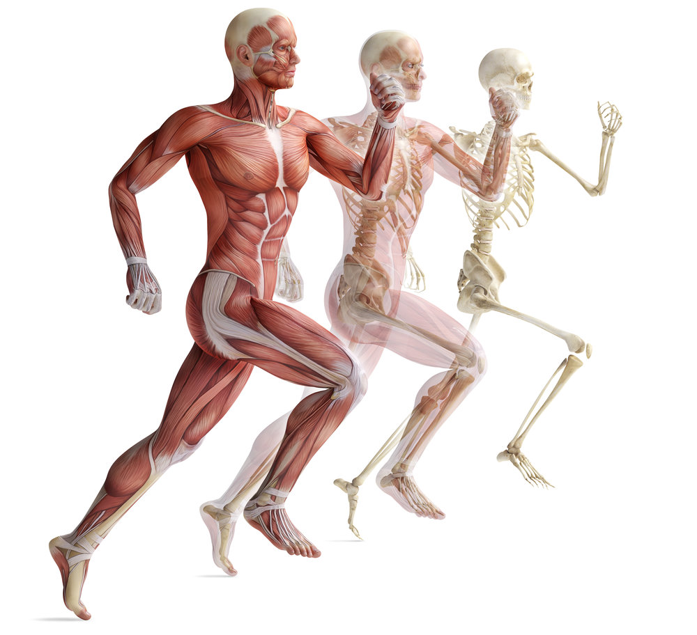 Unfortunately, most don't understand that we are more than just a skeleton. It's muscles, tendon and ligaments that not only keep the skeleton together, but moves it too.