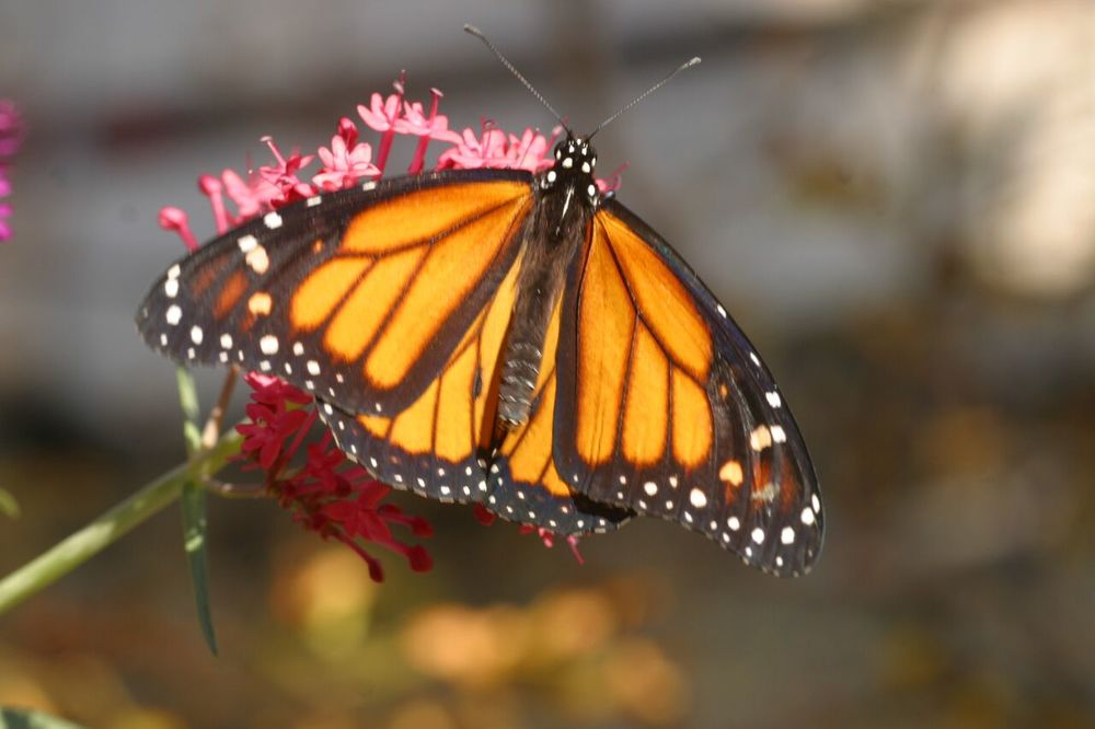 monarchs are one of the hundreds of species i'm still learning about ... and happily so. Photo: Sue anderson