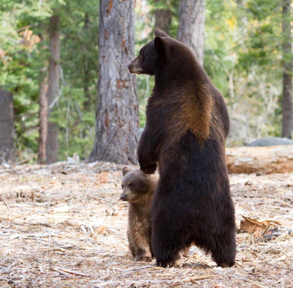 Black bears. Photo:  Alison Hardenburgh