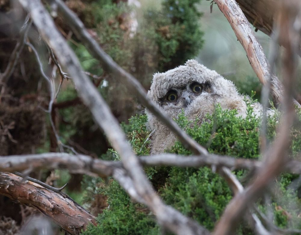 Great Horned Owlet. Photo:  Sue Dougherty