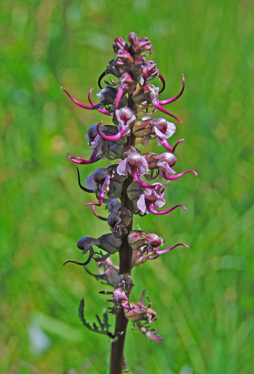 elephant's head lousewort. photo:  M.A. Willson