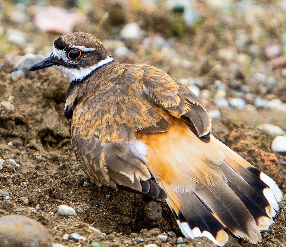 Killdeer are talkative ... and beautiful. Photo: John Williams