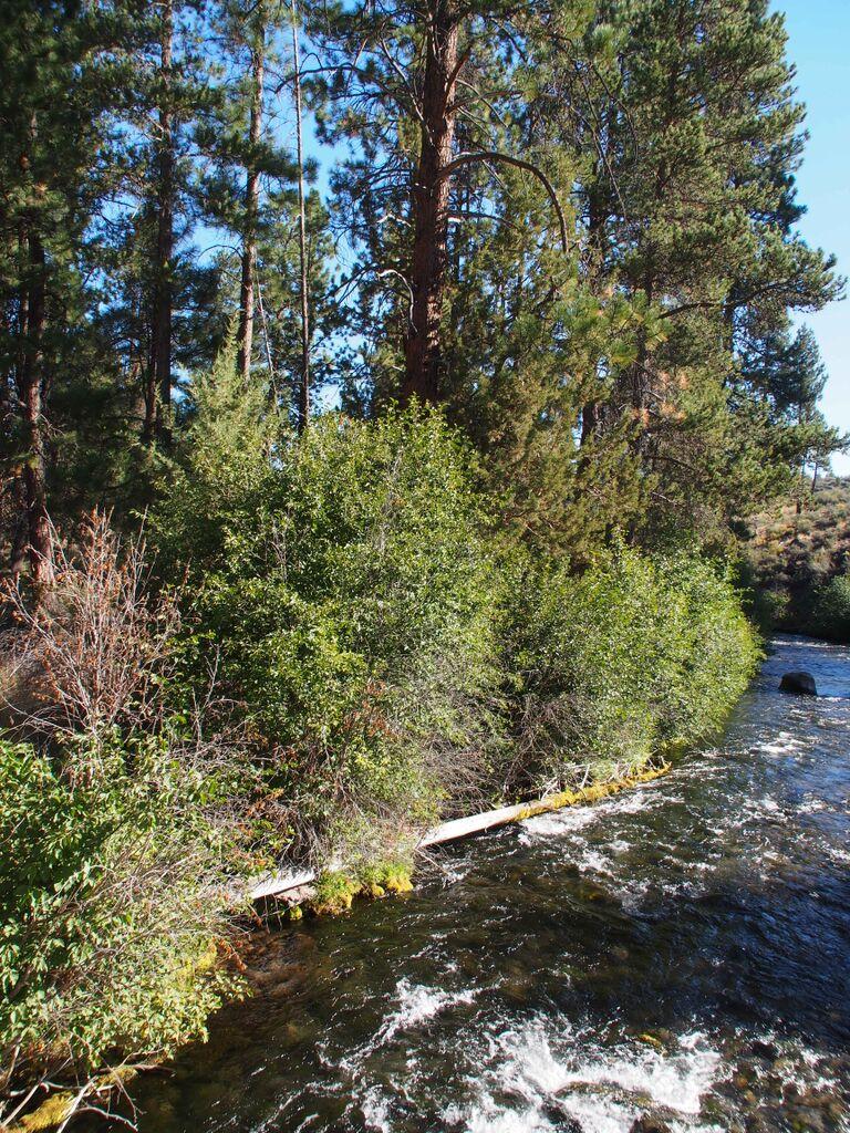 Alders along Tumalo Creek. Photo by Ed Jensen