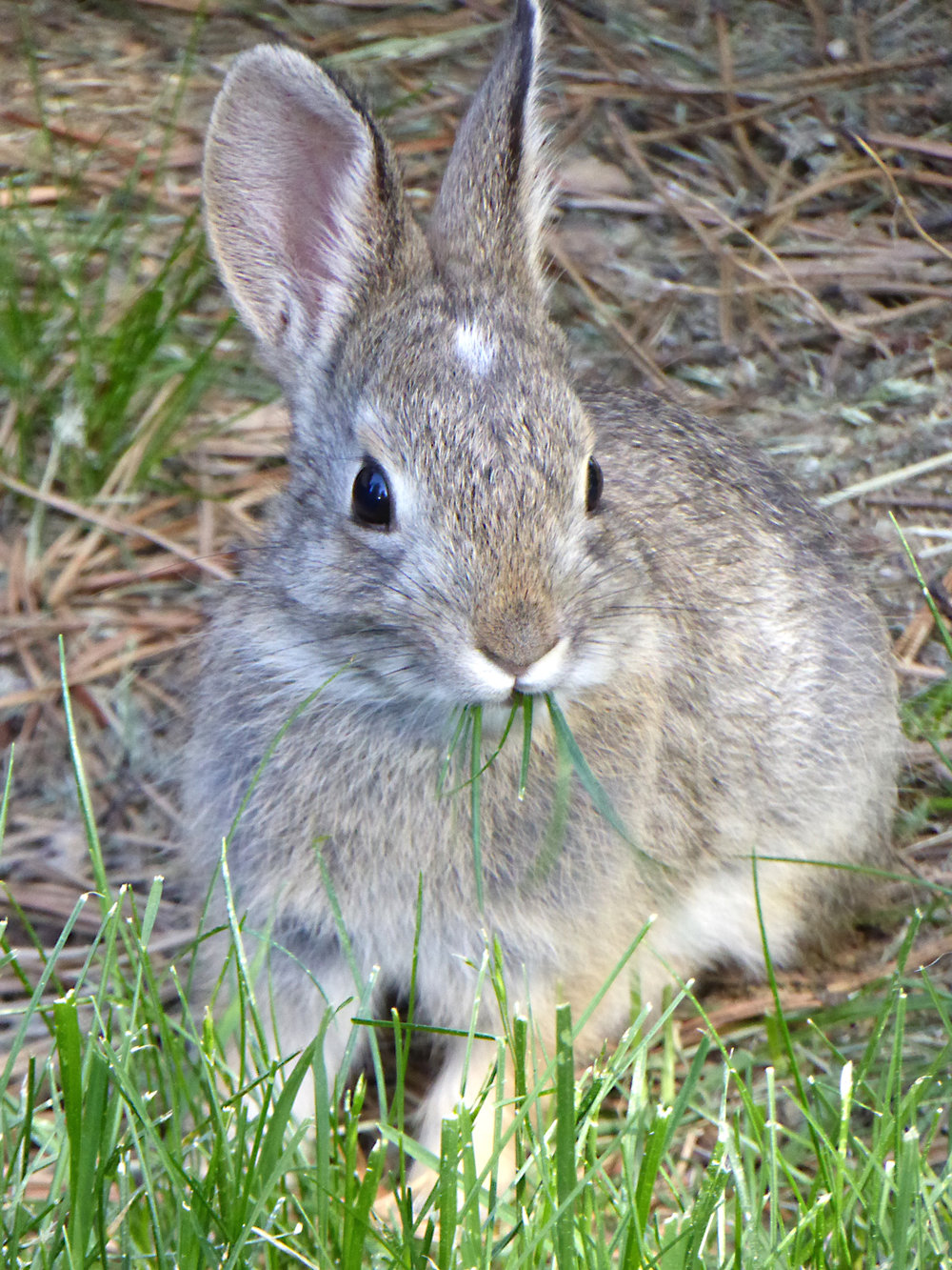 A cottontail not unlike those in  Watership Down.  Photo by  Susan Berger