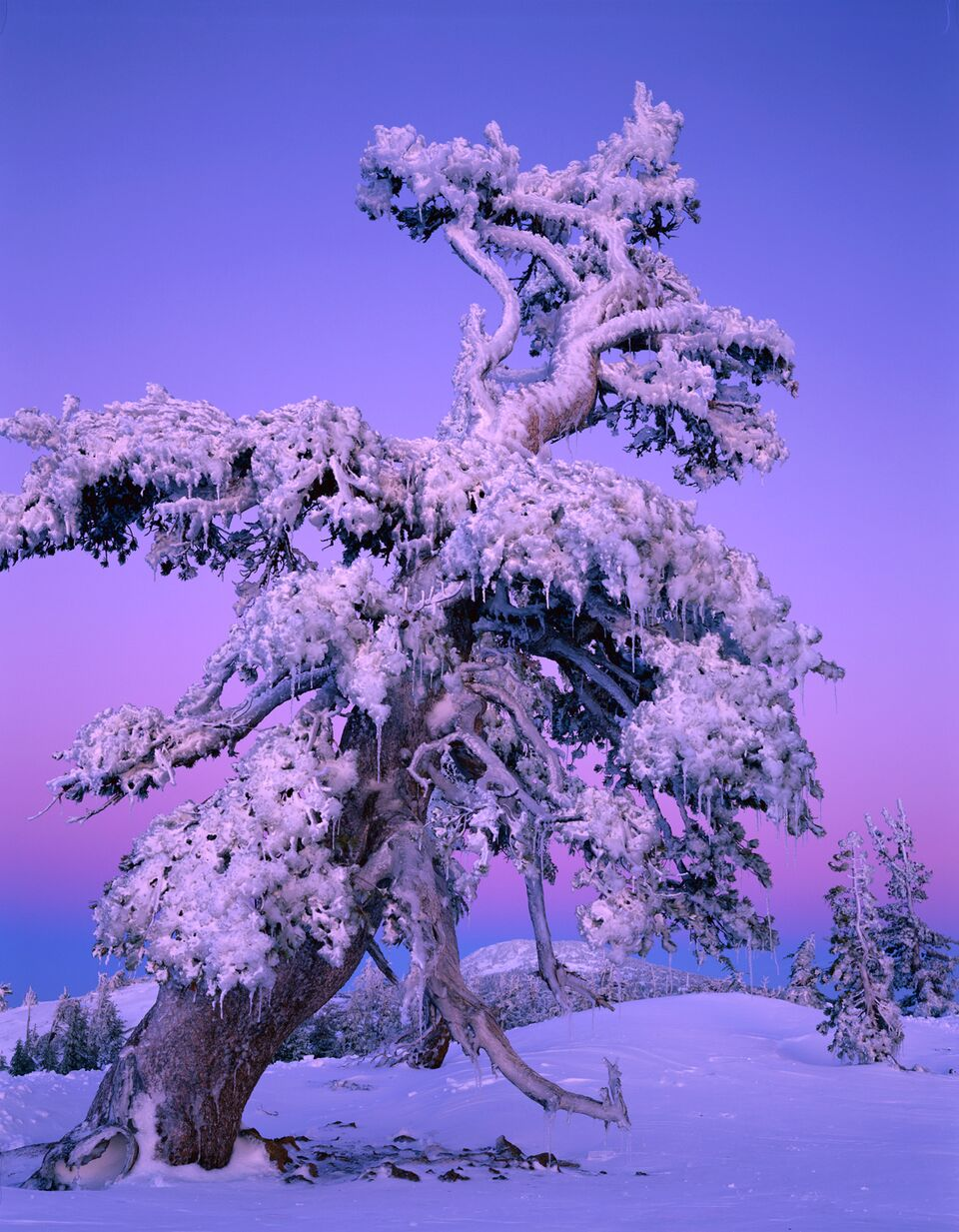 Whitebark pine in winter. Photo by @brucejackson.com.