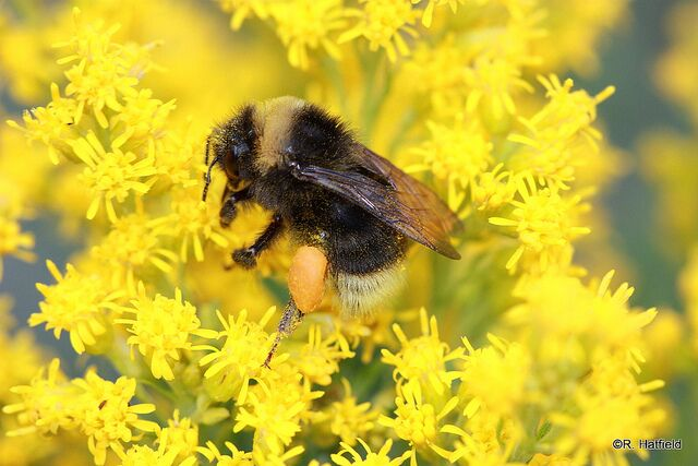 Another hungry bumblebee. Photo: Rich Hatfield