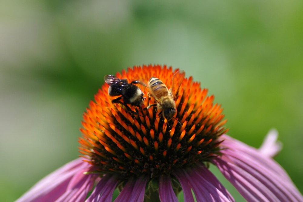 That's a bumblebee on the left and a non-native honeybee on the right. Photo: Rich Hatfield