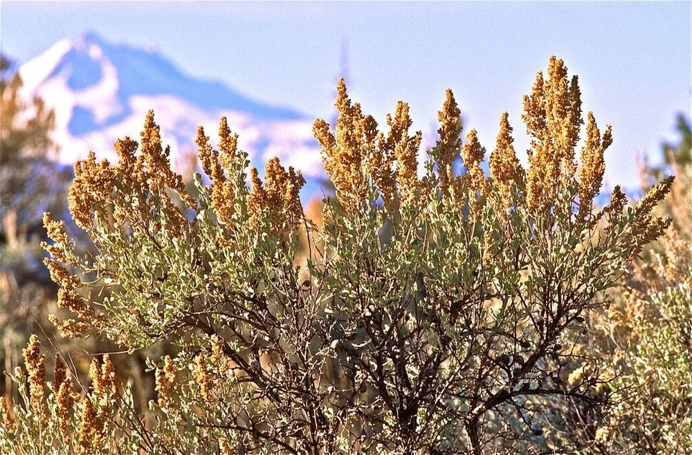 Iconic big sagebrush in Madras. Photo: Alan St. John