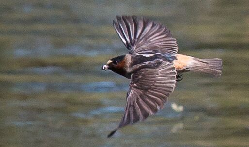 A cliff swallow captured mid-flight. Photo: John Williams