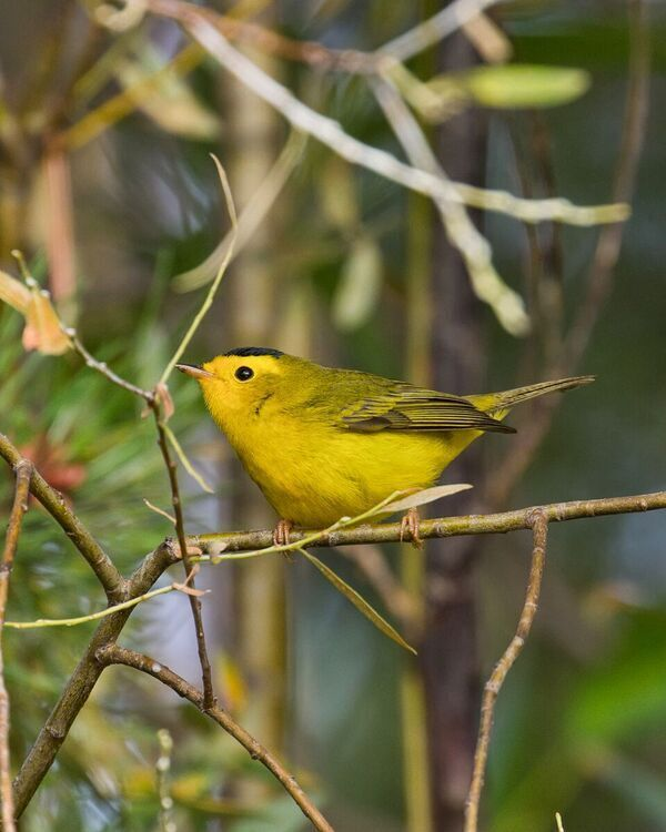 Note the little black cap that indicates a Wilson's Warbler. Photo: Tom Lawler