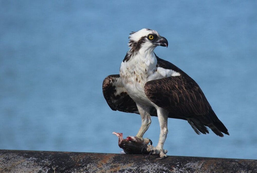 Osprey eat almost nothing but small fish. Photo: Chuck Gates