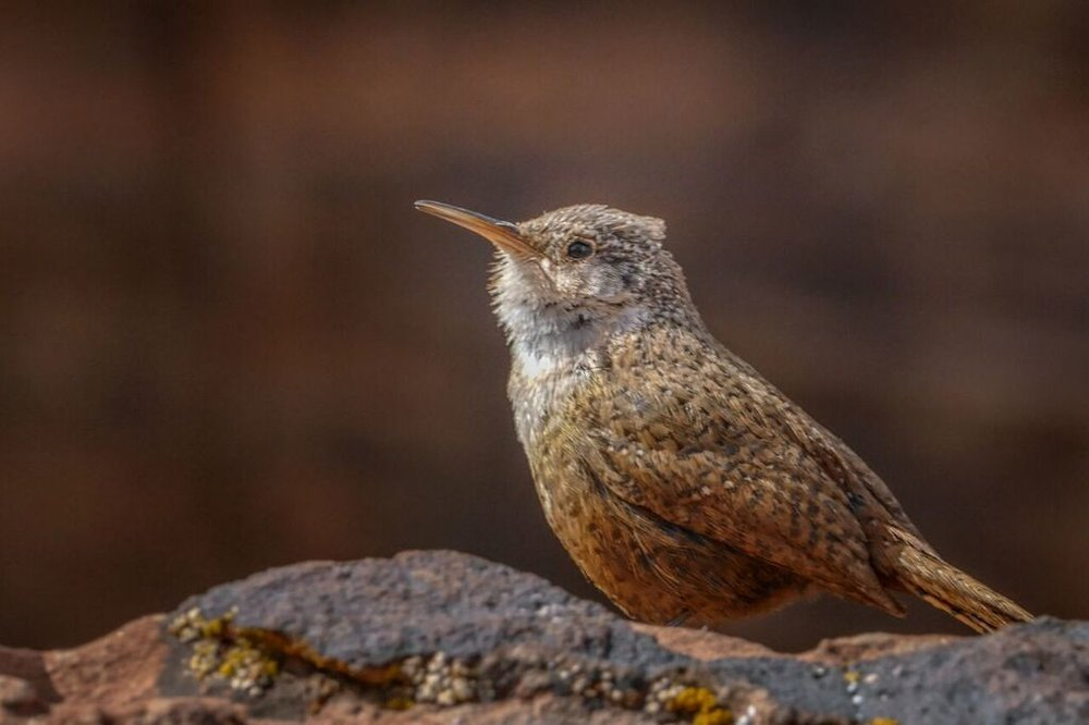 Canyon wrens are hard to see, but their song is unmistakable. Photo: John Williams
