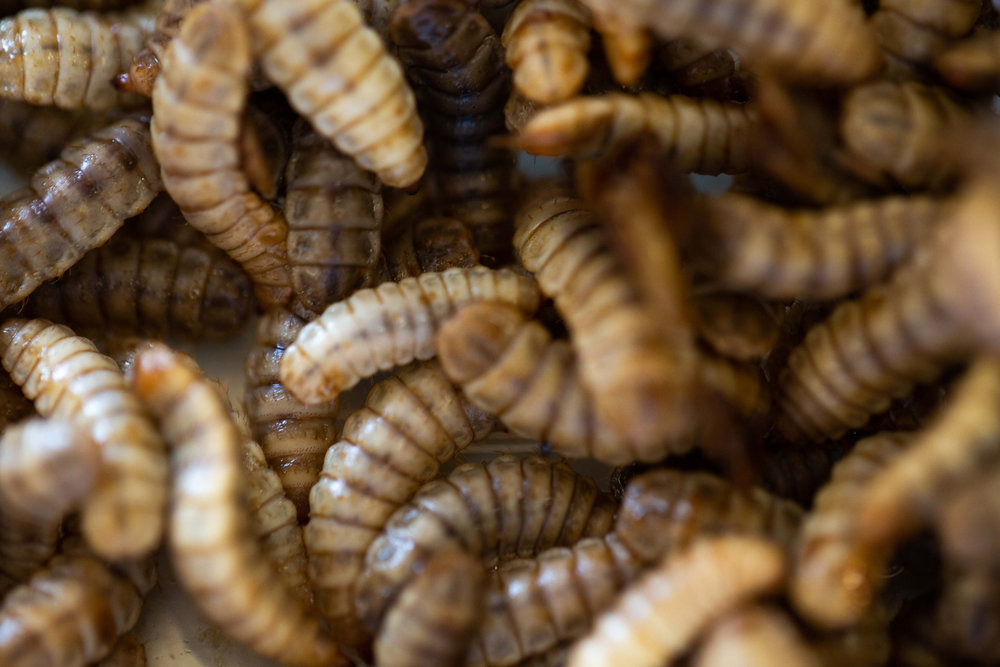 4. Insect protein - At the stage of harvesting, the insects are 45% - 65% protein containing many essential amino acids. The insects are then processed into a flour ready for distribution. 1% of the insect population harvested are nurtured specifically into adults to begin the breeding and egg production processes again, delivering an entirely circular production process.