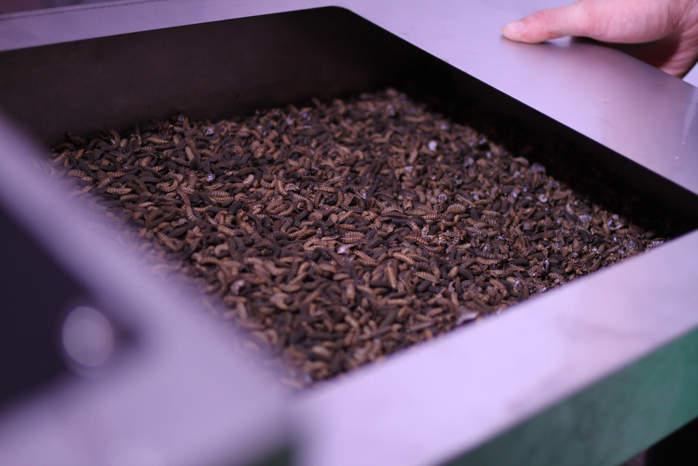 2. Bioconversion - The waste is fed to our Black Soldier Fly larvae in our indoor, environmentally controlled environment and in just six days the Black Soldier Fly larvae consume the organic waste, converting it into high-protein body mass.
