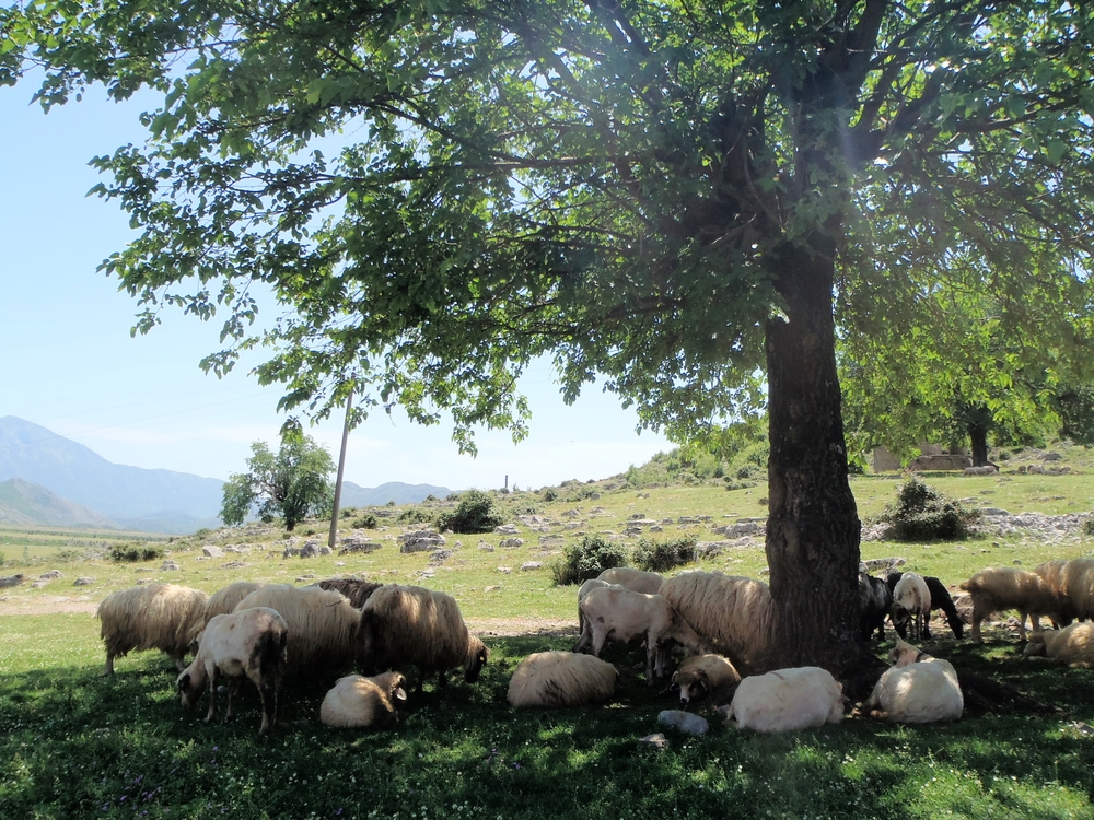 All part of a flock. Chillin' under a tree.