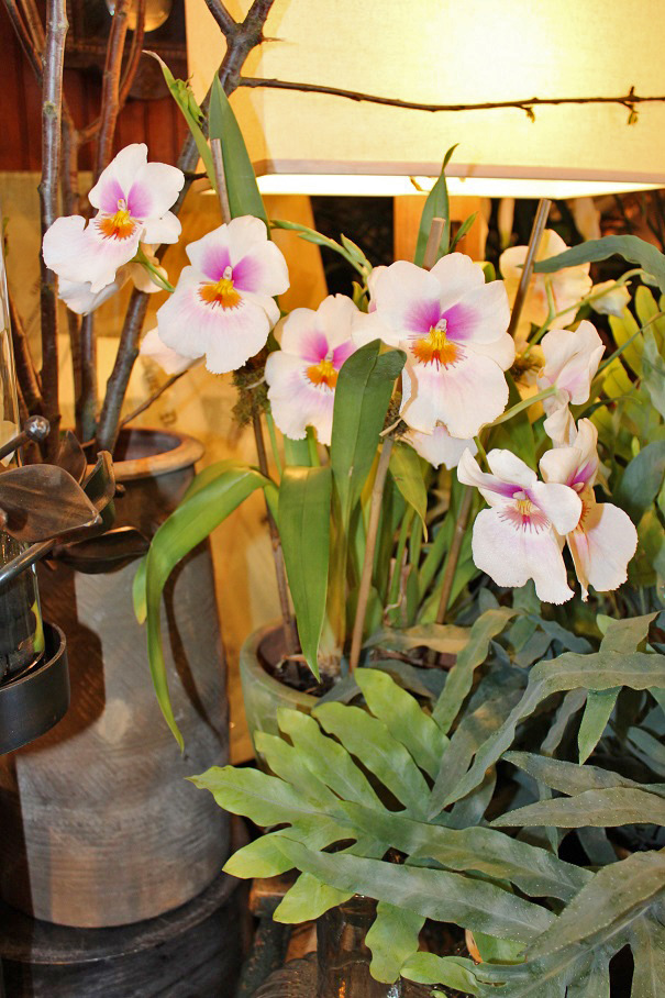 pansy orchid.jpg