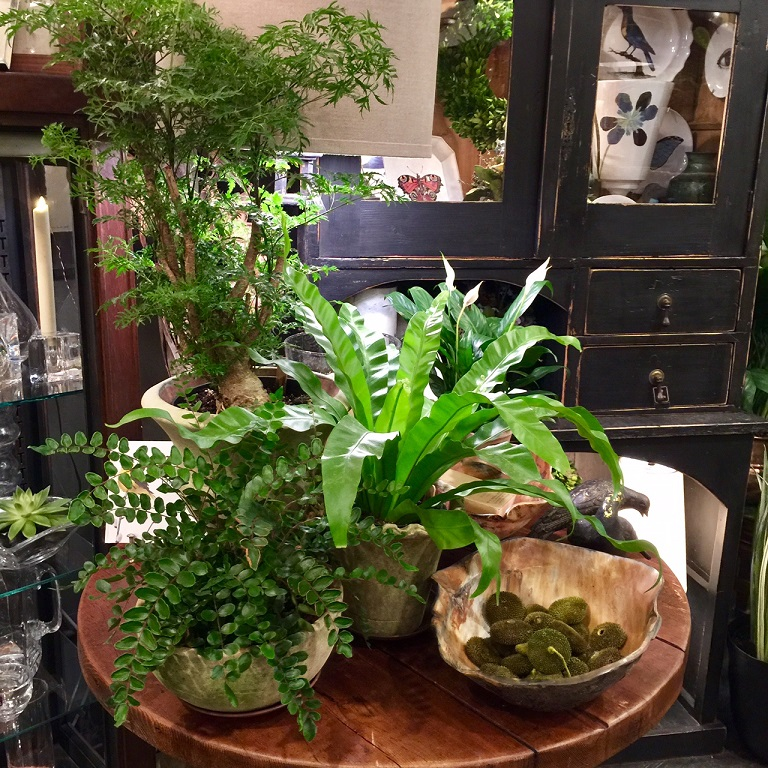 - A beautiful trio: Ming Aralia, Bird's Nest Fern, and a Button Fern... Grouped together in containers made of the same material, these different textures of foliage are a feast for the eyes!