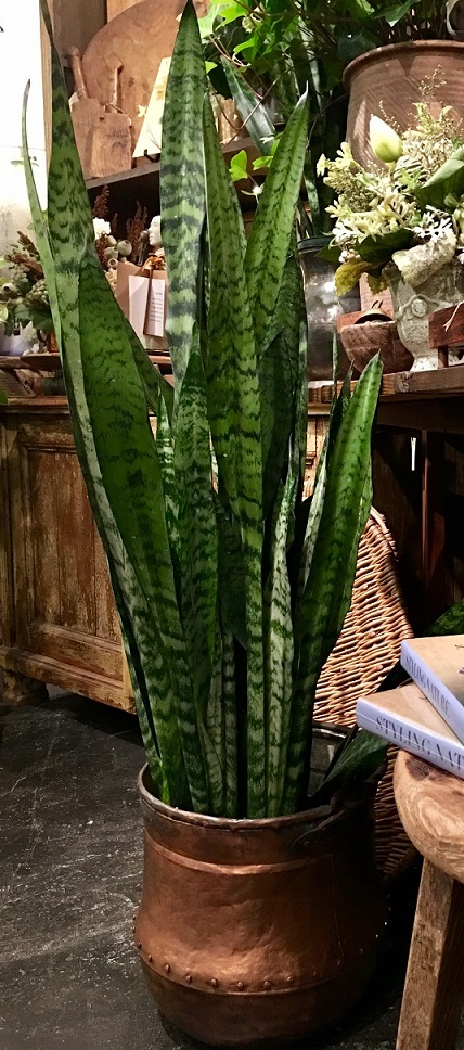 - According to a NASA Clean Air Study, Sansevieria is capable of purifying air by removing toxins.  It can also survive in VERY low light, and only needs to be watered once or twice a month! Wow!  Is this the perfect plant???