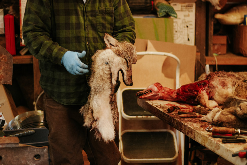 Sherman holds the skin he removed from the coyote. He took the hide only from the head and chest for a shoulder mount.