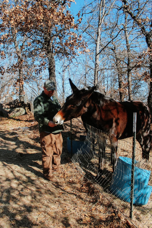 Sherman feeds his mule, Miss B, a sweet potato.