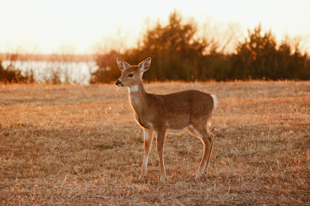 """A """"park deer,"""" as Sherman likes to call them."""