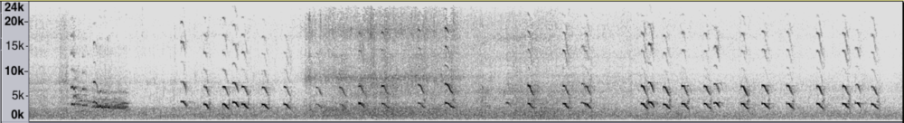 A sonogram shows the piercing, staccato texture of the Arctic Tern's song.