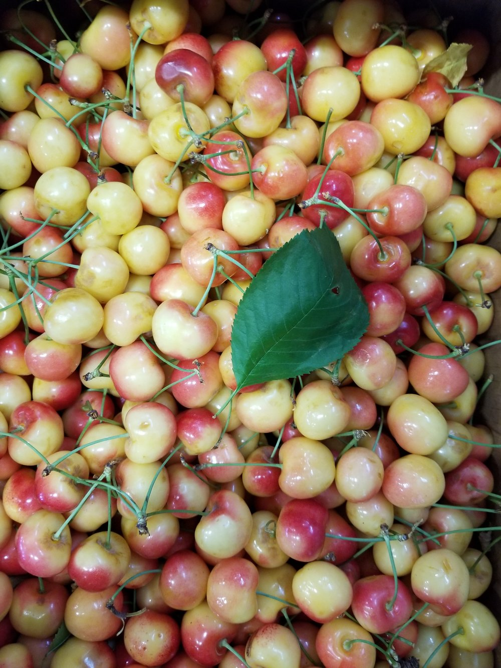 Rainier Cherries in from the orchard
