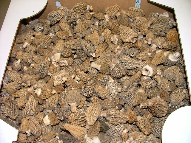 Blond Morels are in