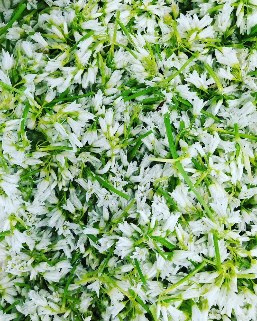 Pretty Spring Onion Blossoms