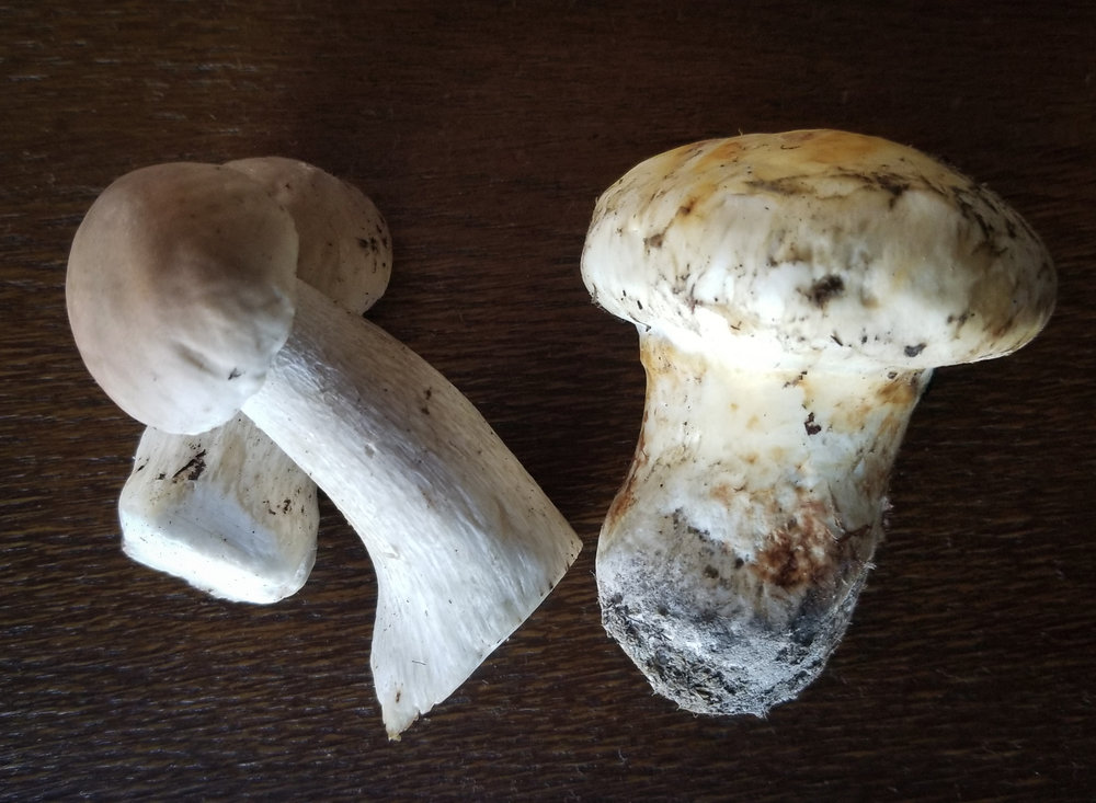 Matsutake and Coastal Porcini - TONS of inventory in