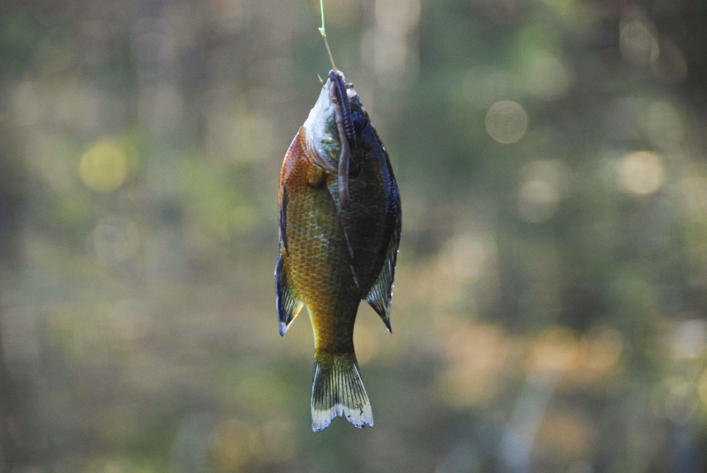 The brightly-colored redbreast sunfish is a summertime favorite in South Carolina's coastal plain rivers.