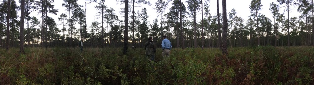The widely spaced longleaf pines and fire-controlled understory on this section of Donnelley WMA is ideal habitat for RCWs. That's no accident, SCDNR staff spent years carefully preparing this area for the reintroduction of these once-common, birds, now on the endangered species list.