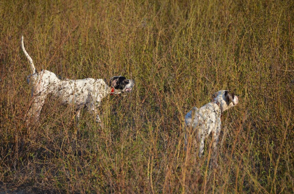 A pair of Midlands shooting preserve owner Kenny Lucas' English pointers doing what they do best.