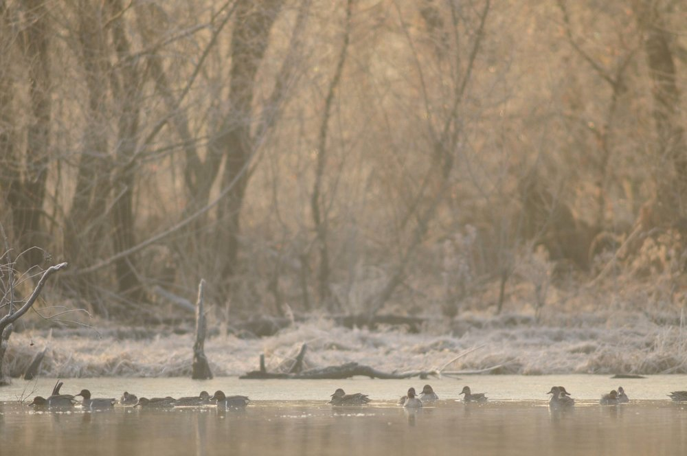 Waterfowl at Broad River WMA at daylight. (photo: SCDNR photo by Stewart Grinton)