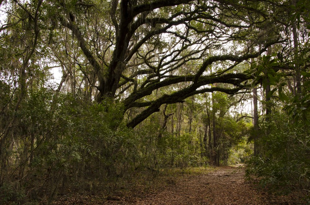 The hiking trail at Altamaha Town Heritage Preserve provides a pleasant walk and view of the Okatee River.
