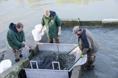 "Assistant Hatchery Manager Brian Boyleston (right) Hatchery Program Coordinator  Leo Rose (center) and  technician Mitch Manis use a seine net to corral thousands of fingerlings in the pond's ""kettle,"""