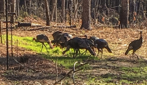 These turkeys are almost in position to be captured. The net operator will wait until all the turkeys have their heads down, feeding, before setting off the net to minimize the chance that a turkey will be hit by a rocket. ( photo courtesy Ryan Klinedinst )