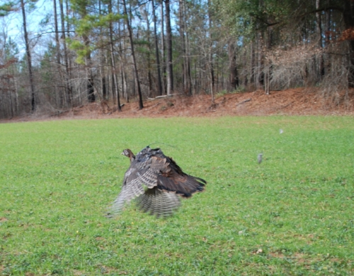 A tagged and released turkey takes flight at the Webb Wildlife Center. ( SCDNR photo )