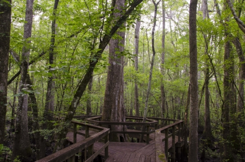 The boardwalk trail wraps around this ancient hollow cypress tree.