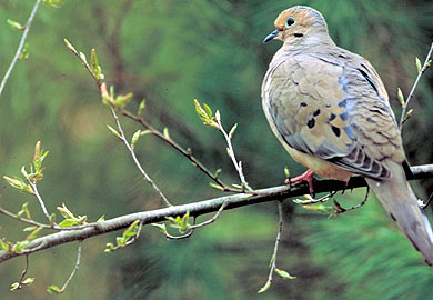 Mourning dove. SCDNR photo
