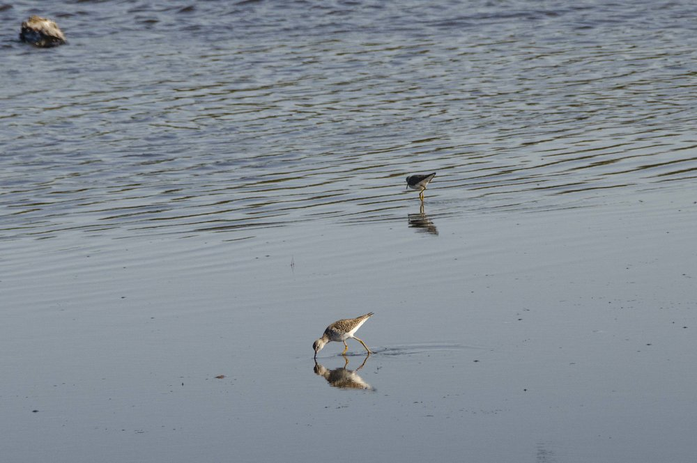 Yellowlegs by DLucas.JPG