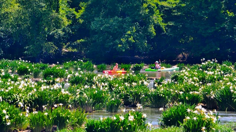 Rocky shoals spider lilies in full bloom at Landsford Canal State Park. Photo courtesy SCPRT.