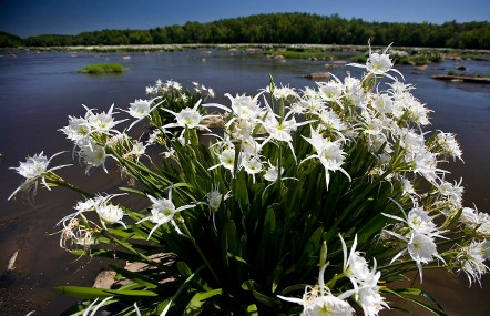A cluster of spider lilies in full bloom.  Photo by Perry Baker courtesy SCPRT.