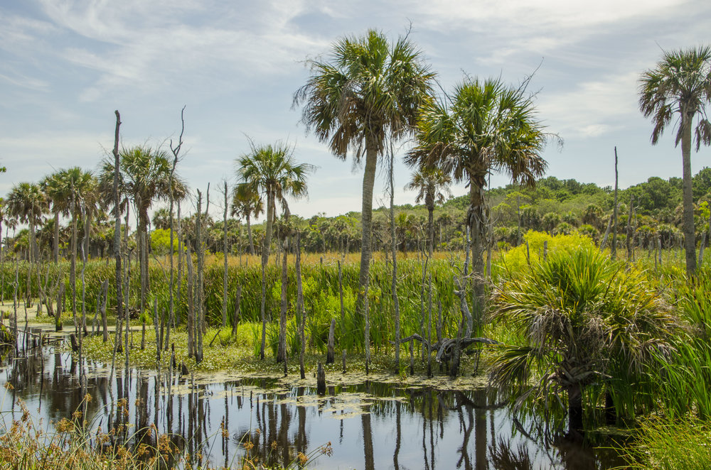 "Palmetto trees in the wetlands along the ""Turkey Walk"" trail."