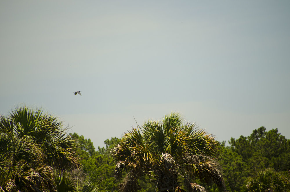 Raptors and other birds are a constant presence in the skies above the island's wetland areas.