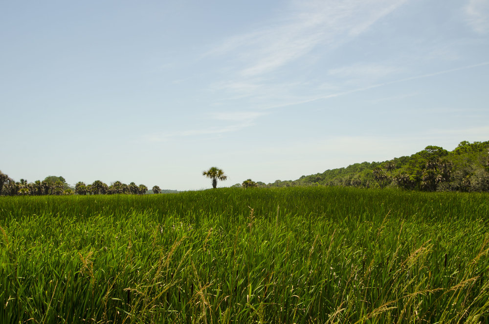 A lone palmetto growing on a tiny spit of dry ground amid a massive field of water-loving cattails.
