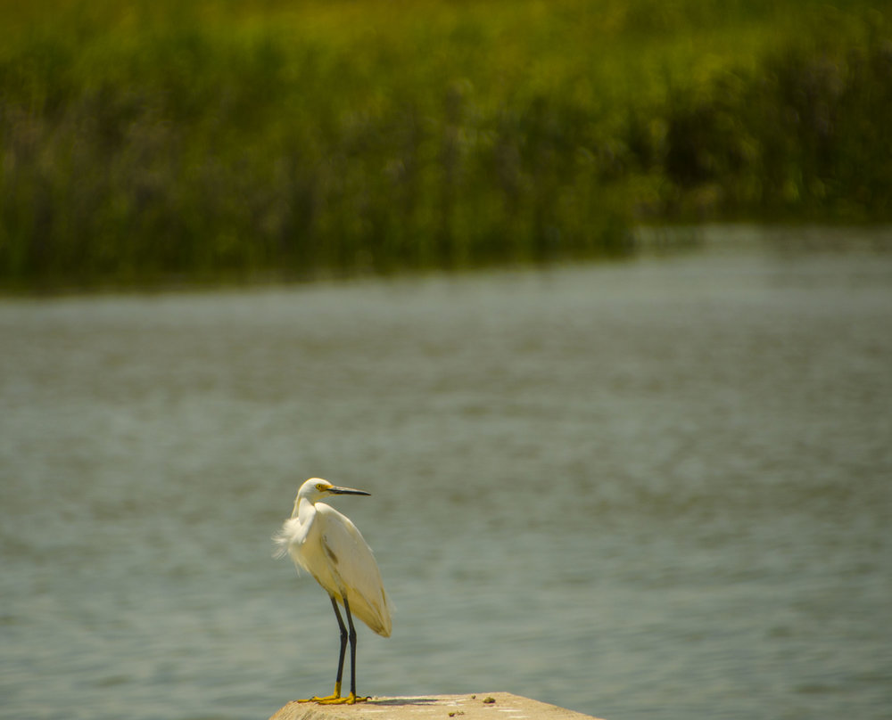 An egret waits patiently for its dinner near the ferry dock.
