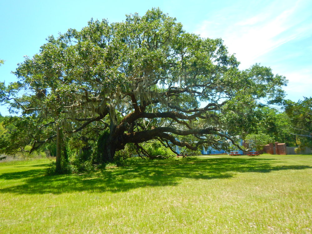Live Oak tree on the grounds of the Dominick House.