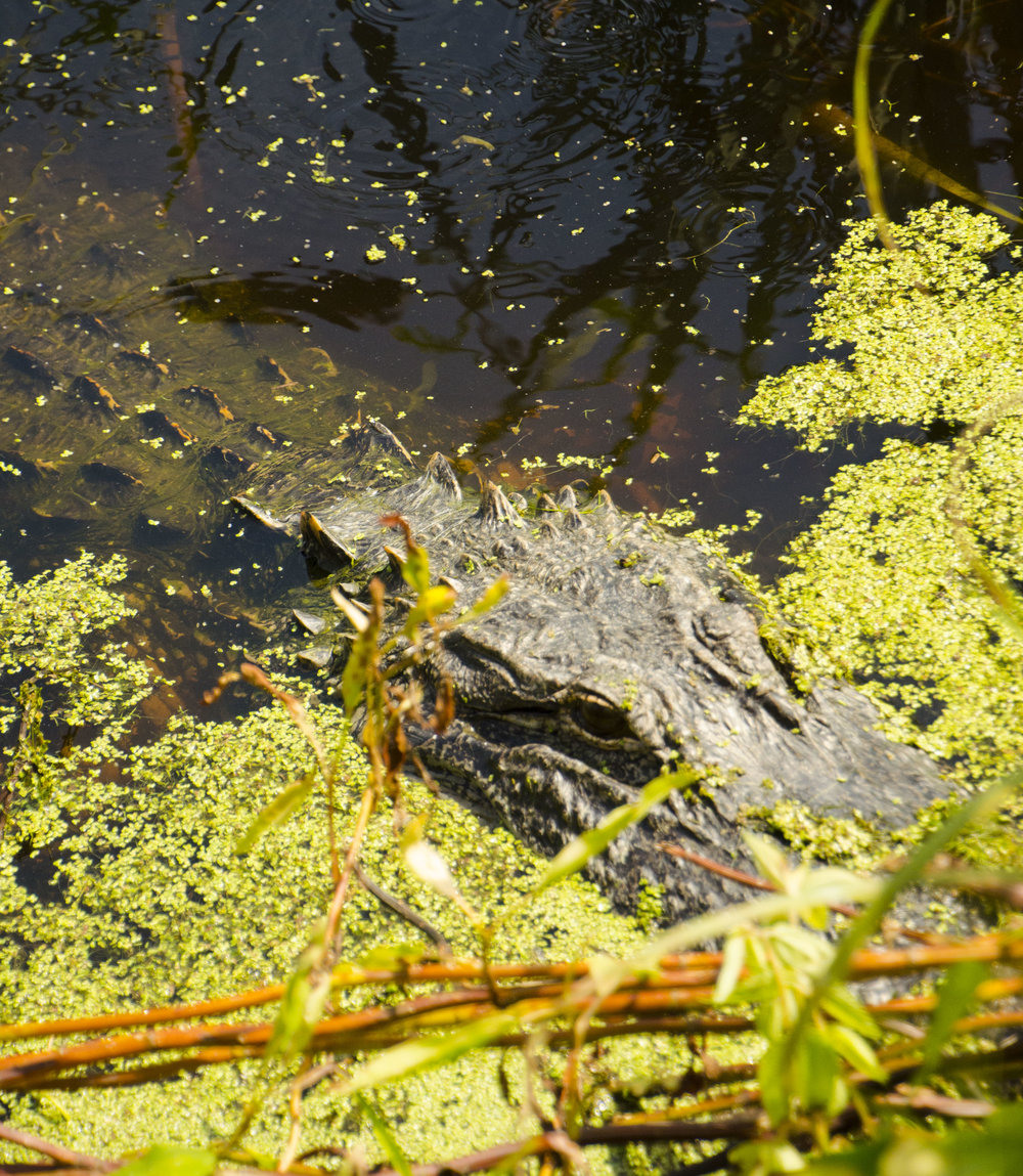 Alligators bask in the water at the lower Summerhouse Pond.