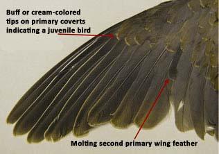 dove_wing_1.JPG